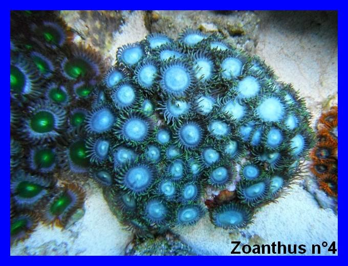 Mes Zoanthus 412