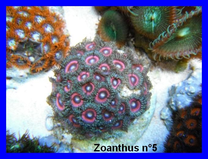 Mes Zoanthus 512