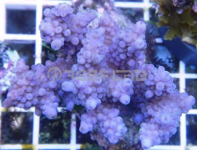 Arrivage coraux reeflab 513