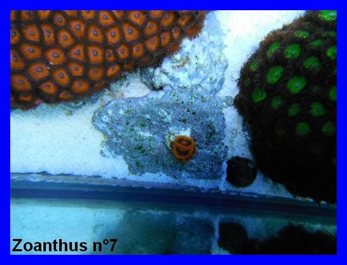 Mes Zoanthus 712