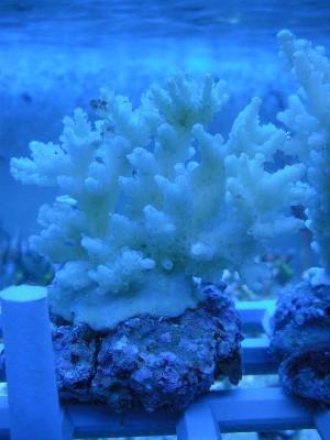 Arrivage coraux reeflab Acro_310