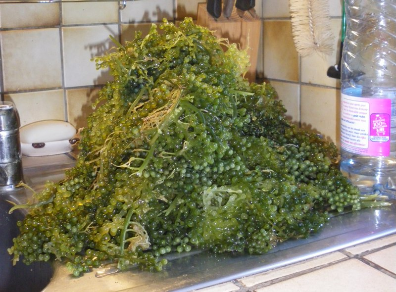 Elagage Caulerpa Racemosa Imgp0614