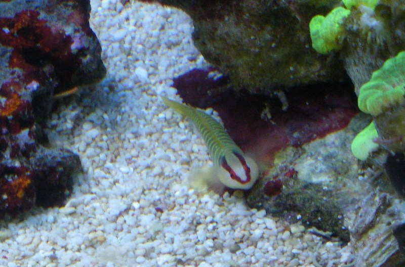 Elacatinus multifasciatus - Gobie multicolore Imgp8711