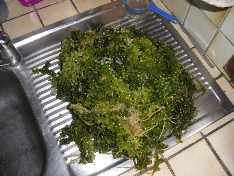 Elagage Caulerpa Racemosa Imgp9910