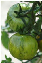 confiture de tomates vertes Tomate10