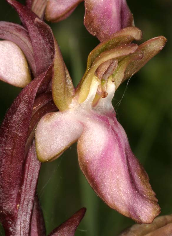 Anacamptis collina ( Orchis des collines ) 01_ana10