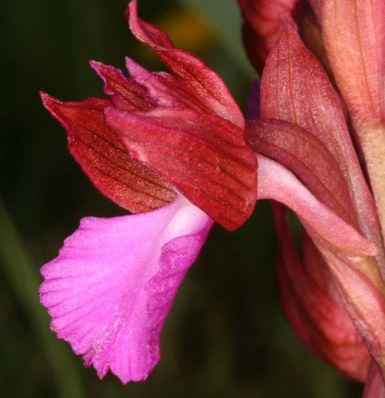 [Italie] Orchidées des POUILLES 2008 02_ana10