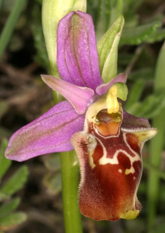 [Italie] Orchidées des POUILLES 2008 04_oph10