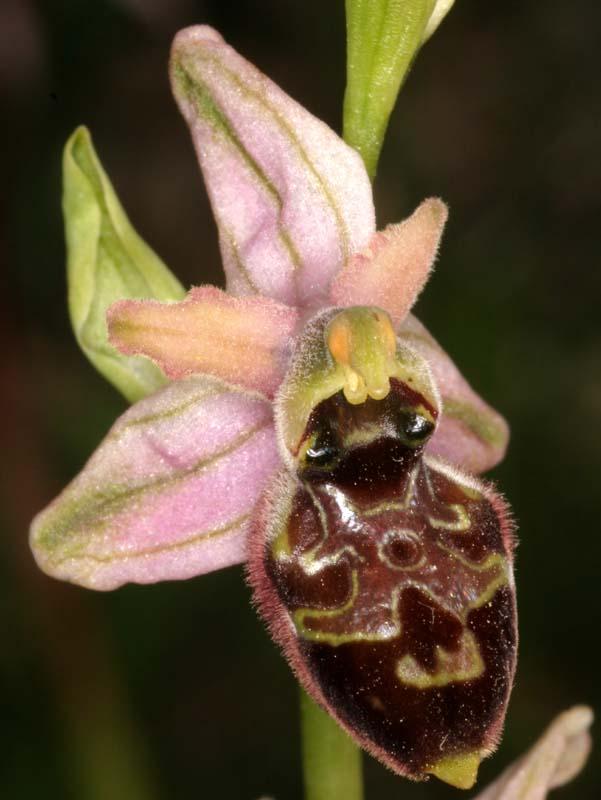 [Italie] Orchidées des POUILLES 2008 05_oph10