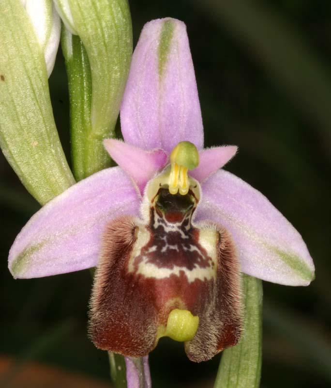 [Italie] Orchidées des POUILLES 2008 08_oph10