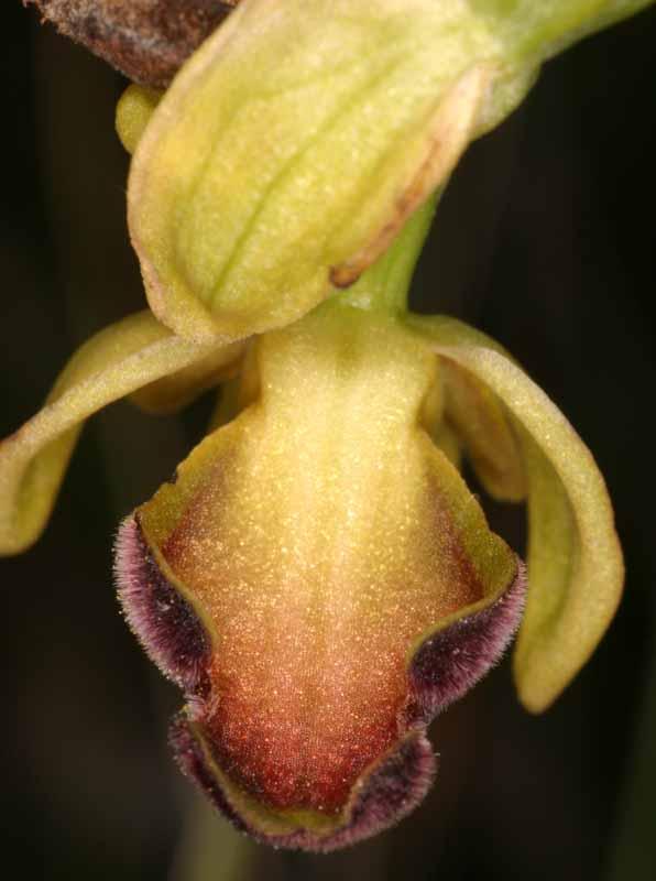 [Italie] Orchidées des POUILLES 2008 15_oph12