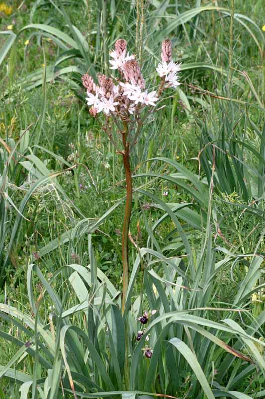 [Italie] Orchidées des POUILLES 2008 21_oph12