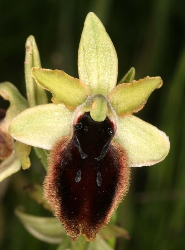 [Italie] Orchidées des POUILLES 2008 23_oph10