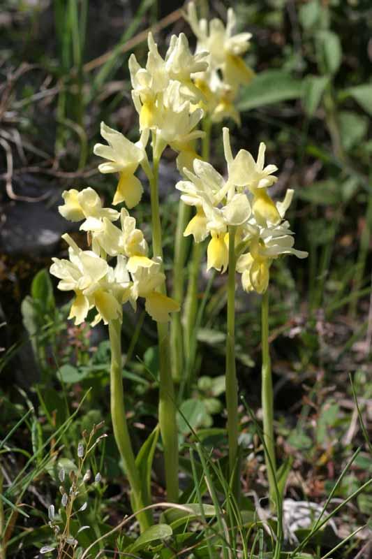 Orchis pauciflora ( Orchis à fleurs peu nombreuses ) 24_orc11