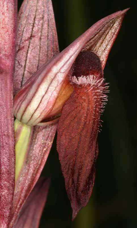 [Italie] Orchidées des POUILLES 2008 27_ser11