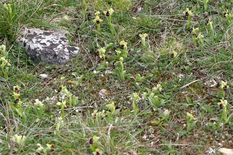 Ophrys bombyliflora ( Ophrys bombyx ) Oph_bo10