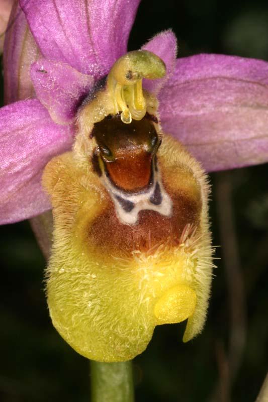 Ophrys ficalhoana ( = O.tendhredinifera subsp. ficalhoana ) Oph_fi12