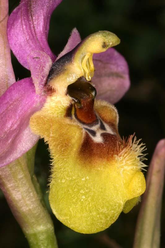 Ophrys ficalhoana ( = O.tendhredinifera subsp. ficalhoana ) Oph_fi13