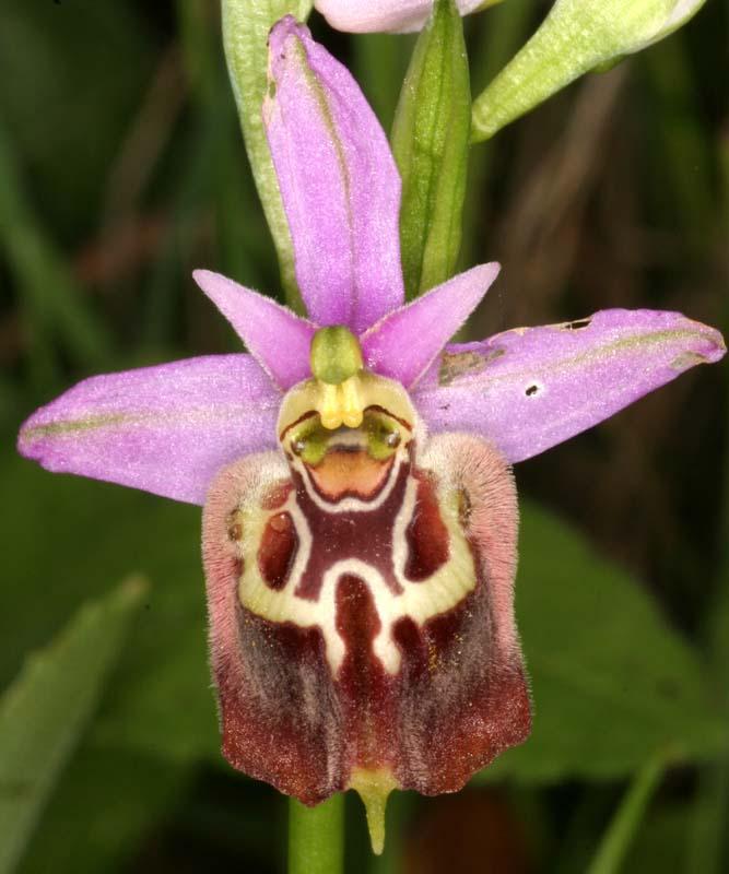 [Italie] Orchidées des POUILLES 2008 X_ophr10