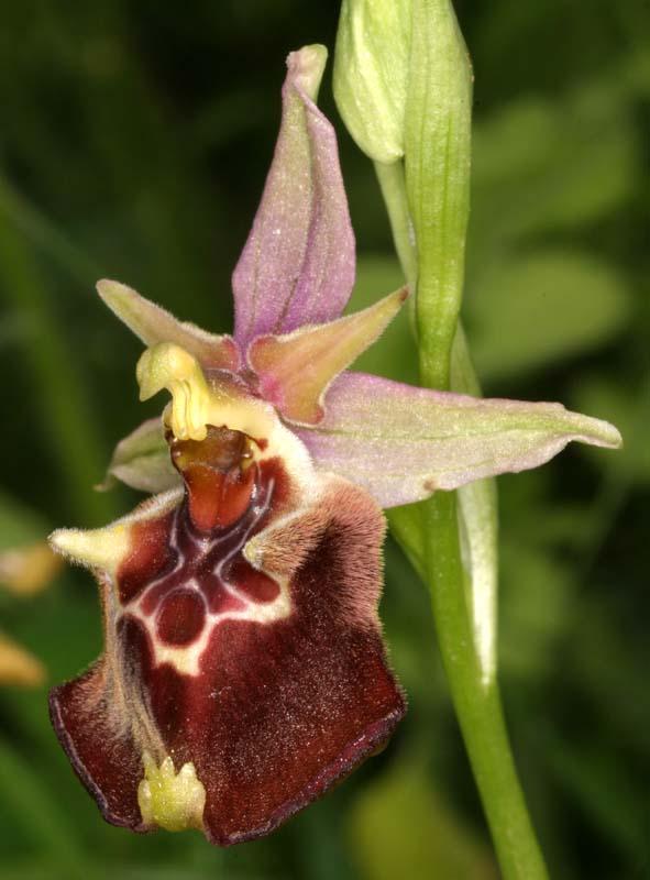[Italie] Orchidées des POUILLES 2008 X_ophr11