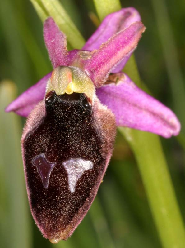 [Italie] Orchidées des POUILLES 2008 X_ophr12