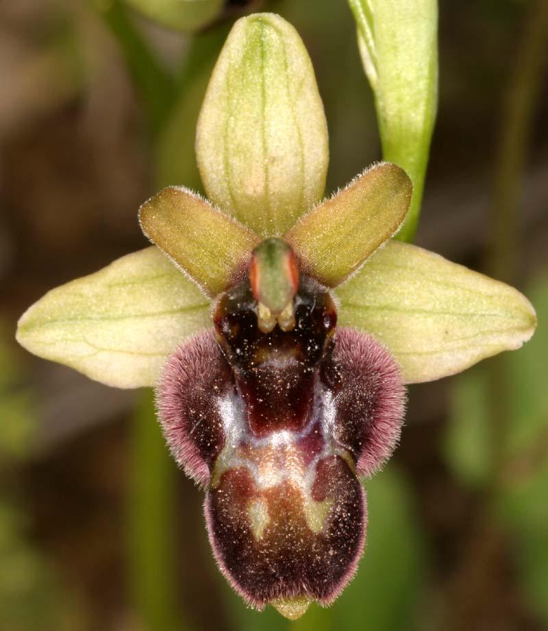 [Italie] Orchidées des POUILLES 2008 X_ophr19