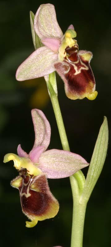 [Italie] Orchidées des POUILLES 2008 X_ophr26