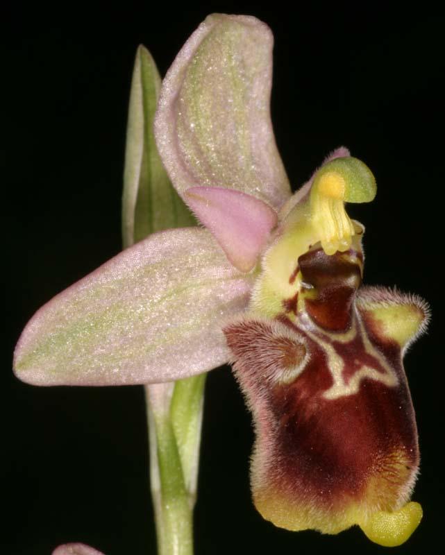 [Italie] Orchidées des POUILLES 2008 X_ophr27