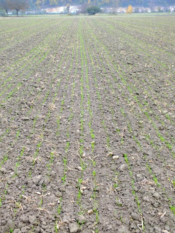 l'avis d'expert pour mon blé de débutant - Page 3 Dscf2810