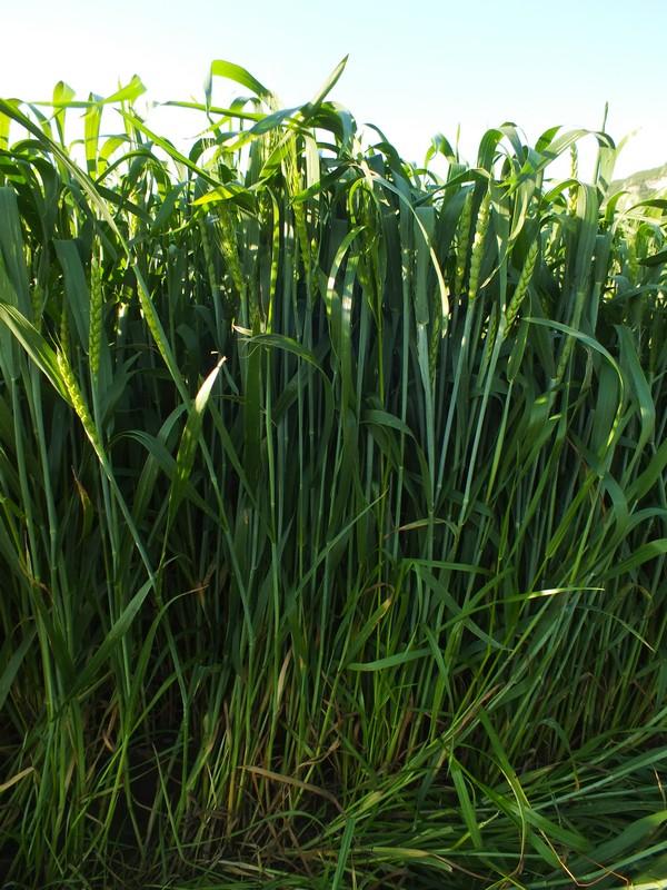 l'avis d'expert pour mon blé de débutant - Page 2 Dscf5710