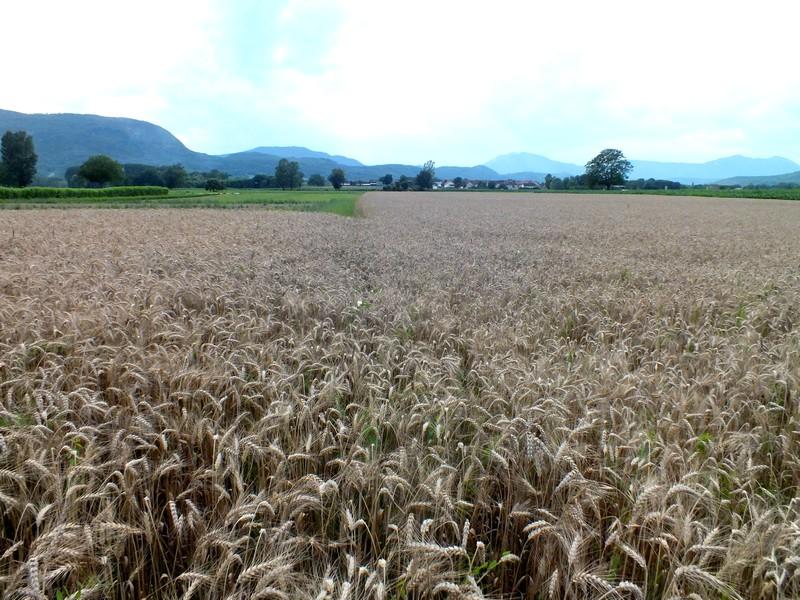 l'avis d'expert pour mon blé de débutant - Page 2 Dscf6110