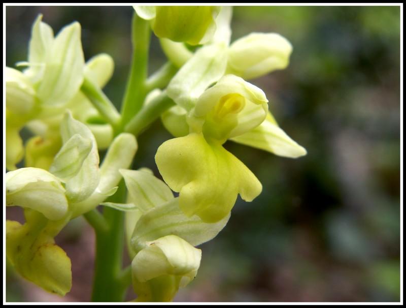 Orchis pallens ( Orchis pâle ) Pict0036
