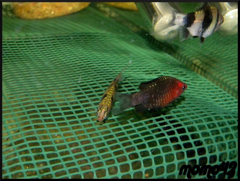 reproduction Puntius nigrofasciatus Dscn1710