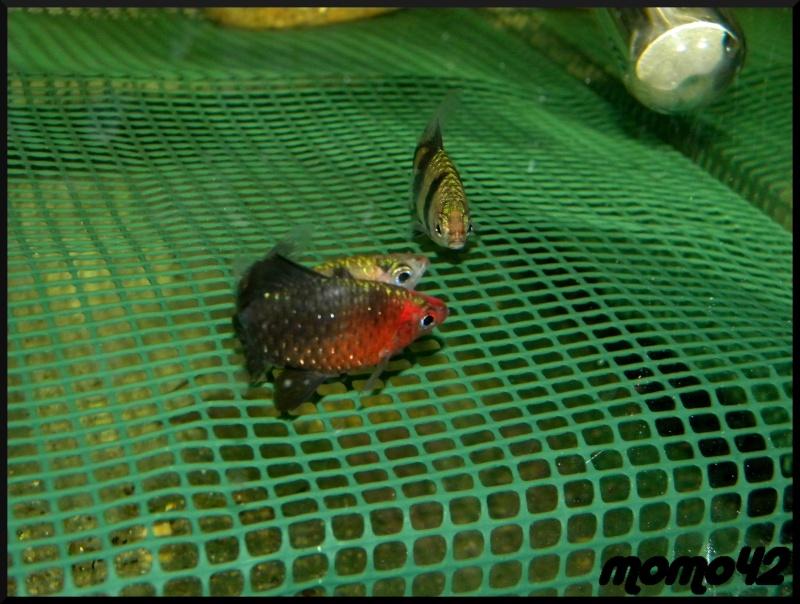 reproduction Puntius nigrofasciatus Dscn1712