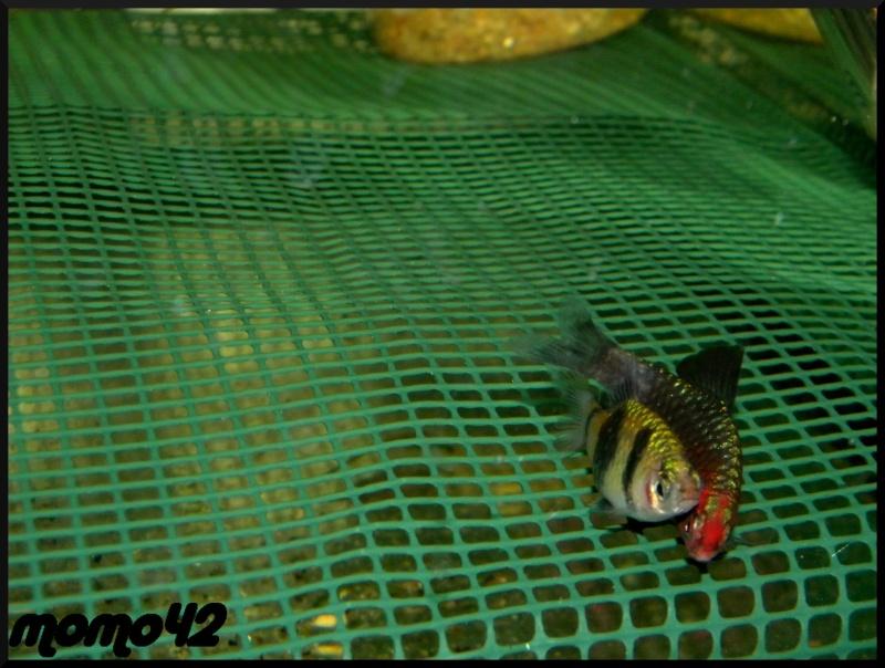 reproduction Puntius nigrofasciatus Dscn1713