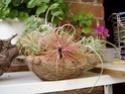 * Orchidées - Tillandsias - Broméliacées * - Portail P6120610