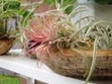Floraisons 2012 P6130610
