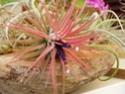 Floraisons 2012 P6140613