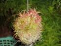 Floraisons 2012 P7040610