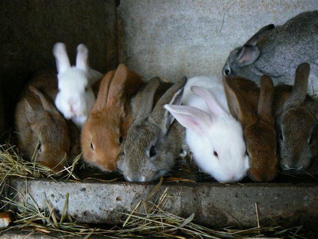 les lapins(hybrides) 14-15-10