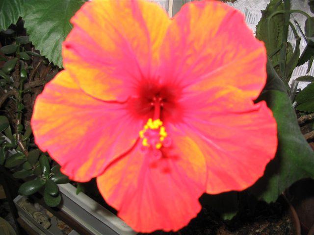 Mon Hibiscus en fleur Belle_10