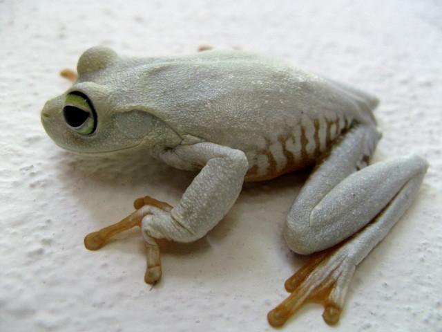 encore une grenouille de Lorette Img_7011