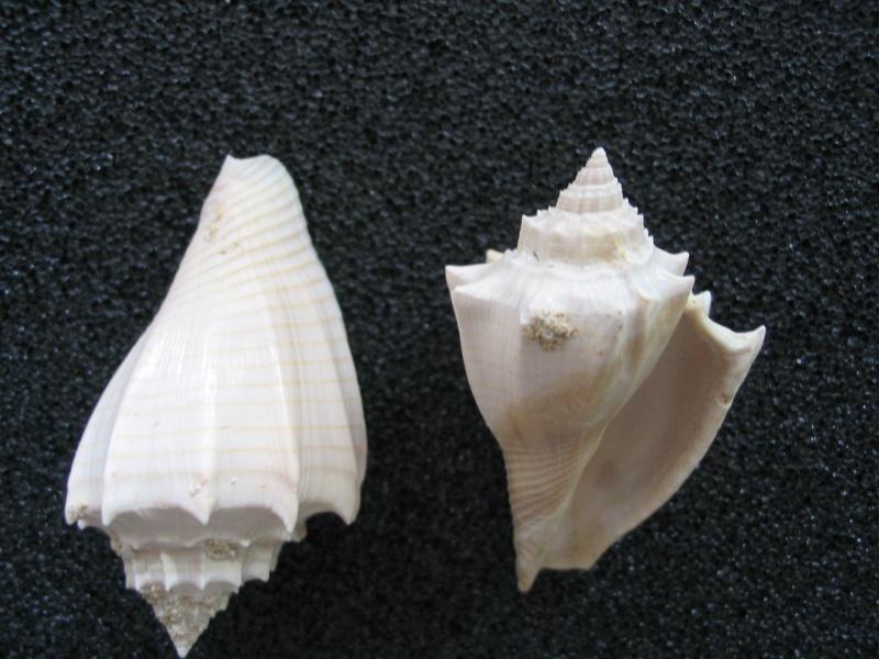 [résolu]Athleta (Volutospina) spinosus (LINNAEUS, 1758) Pour_u10