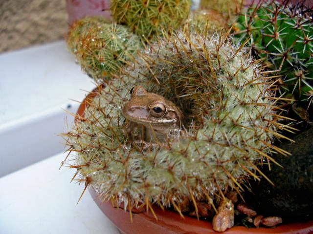 Ranacactus  de Lorette Venezuela Ranaca10