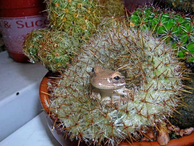 Ranacactus  de Lorette Venezuela Ranaca11