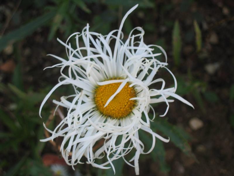 Les Leucanthemum Img_8410