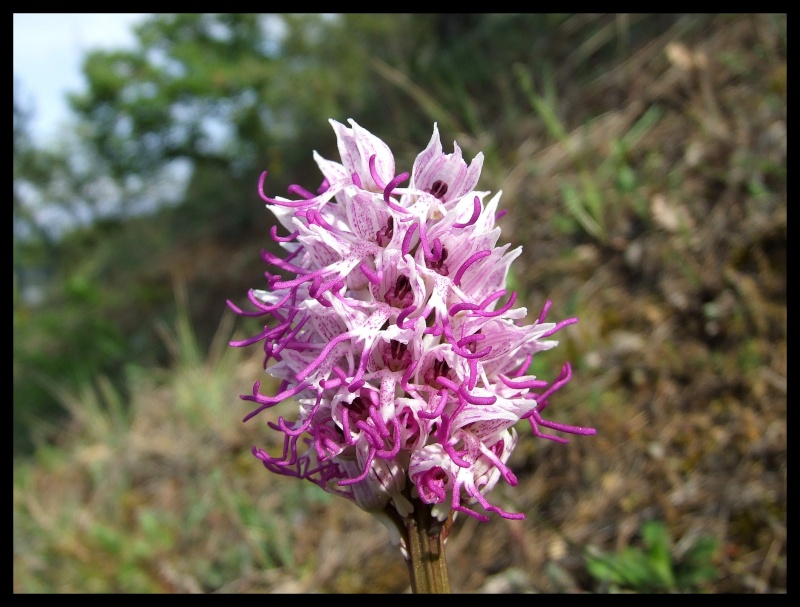 orchis simia ( Orchis singe ) Orchis11