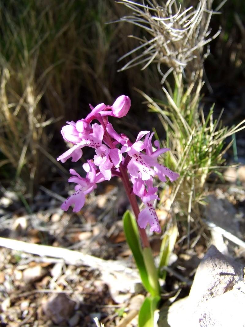 Orchis olbiensis ( Orchis d'Hyères ) Sortie11