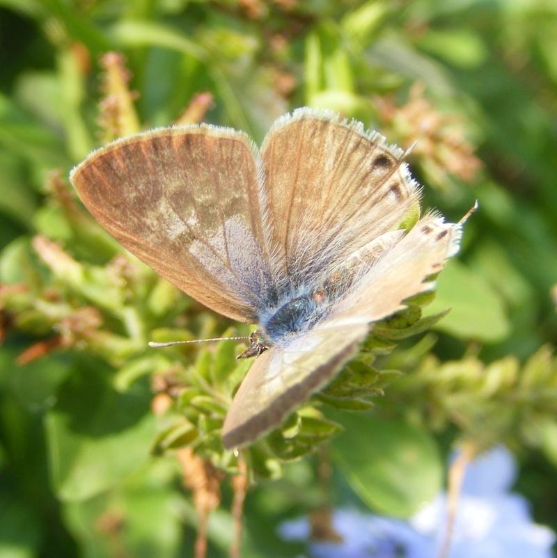 [Leptotes pirithous](Lycaenidae Polyommatinae) méridional Dscf1111