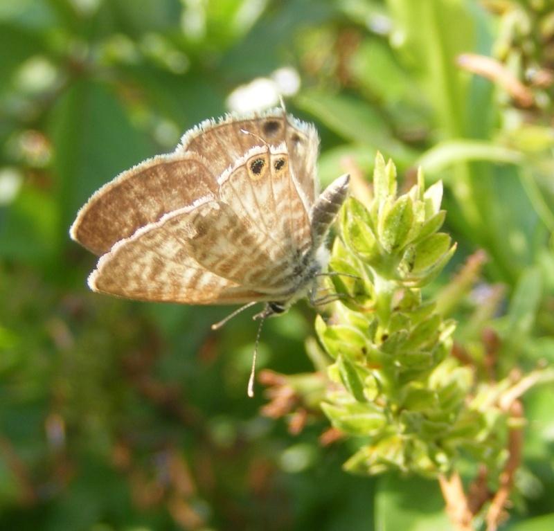 [Leptotes pirithous](Lycaenidae Polyommatinae) méridional Dscf1112